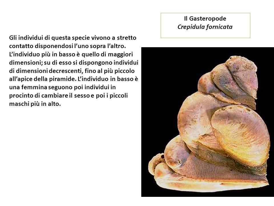 Il Gasteropode Crepidula fornicata.