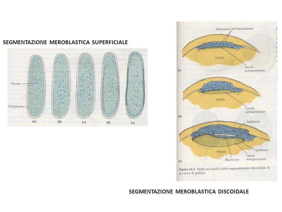 SEGMENTAZIONE MEROBLASTICA SUPERFICIALE