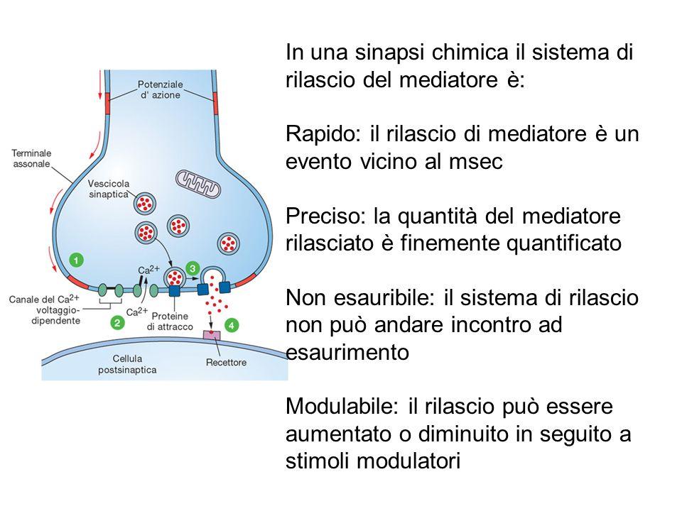 In una sinapsi chimica il sistema di rilascio del mediatore è: