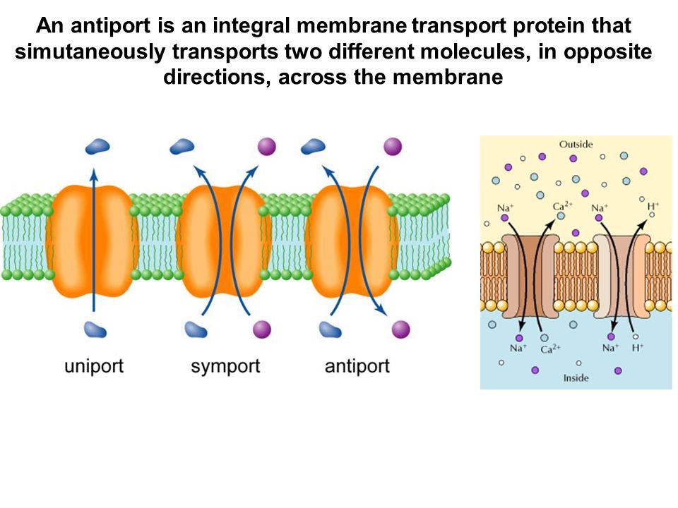 An antiport is an integral membrane transport protein that simutaneously transports two different molecules, in opposite directions, across the membrane