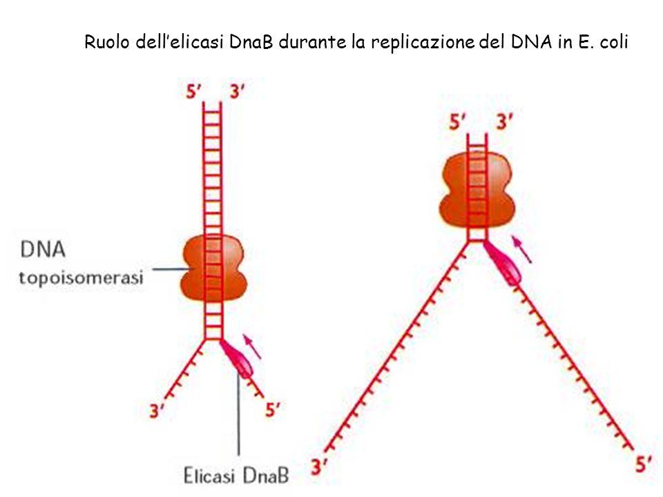 Ruolo dell'elicasi DnaB durante la replicazione del DNA in E. coli