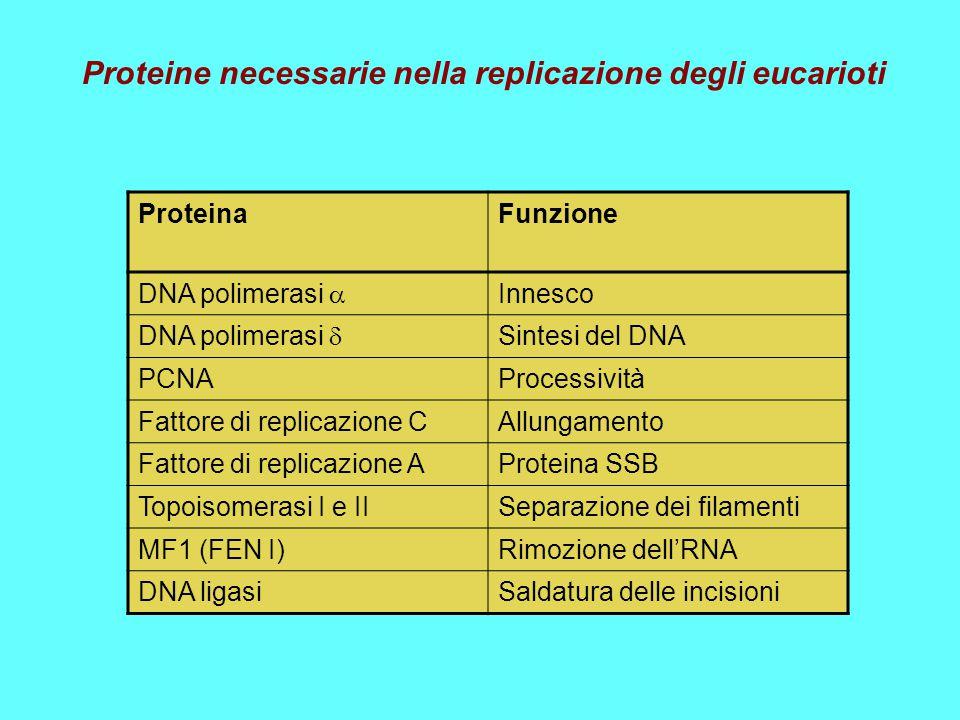 Proteine necessarie nella replicazione degli eucarioti
