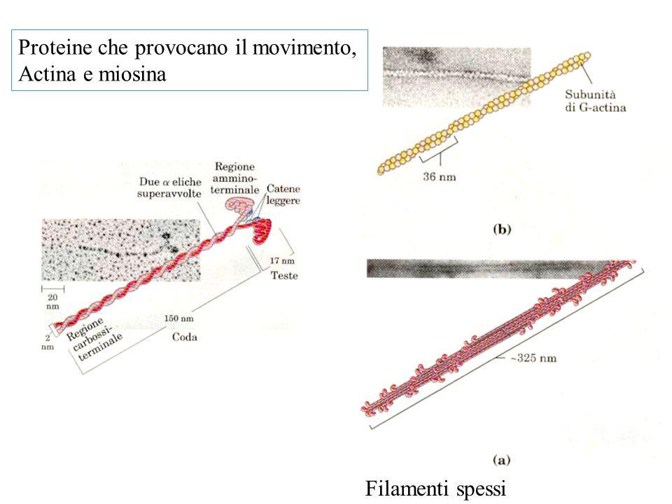 Proteine che provocano il movimento,