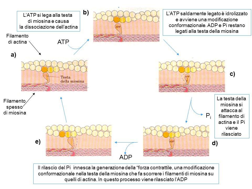 b) ATP a) c) Pi e) d) ADP L'ATP saldamente legato è idrolizzato