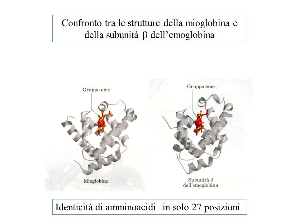 Confronto tra le strutture della mioglobina e della subunità b dell'emoglobina