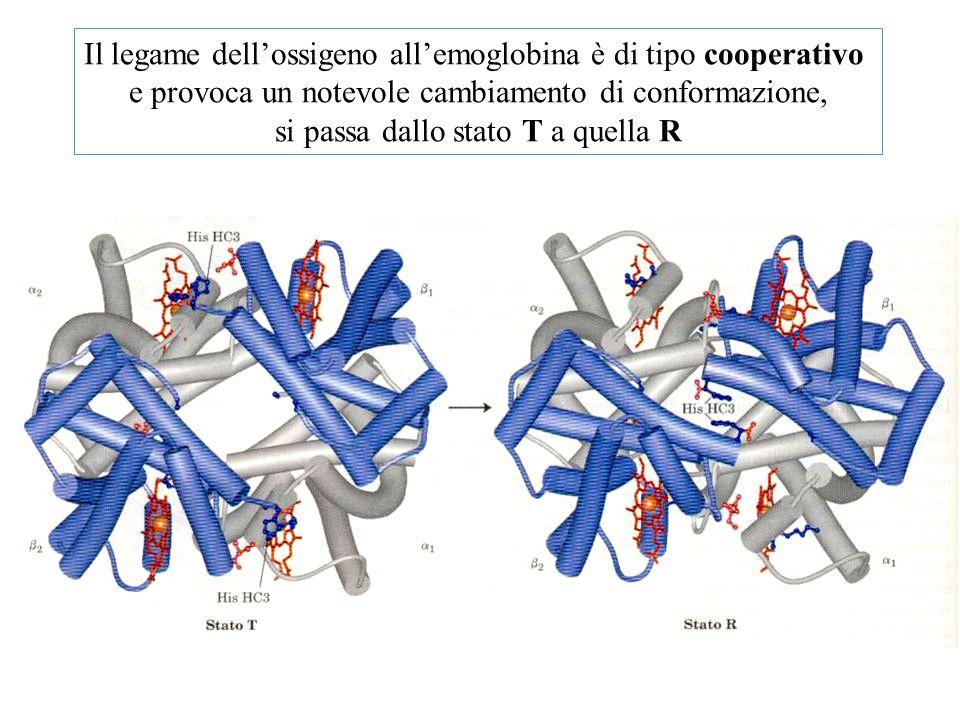 Il legame dell'ossigeno all'emoglobina è di tipo cooperativo