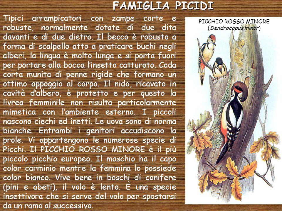 PICCHIO ROSSO MINORE (Dendrocopus minor)