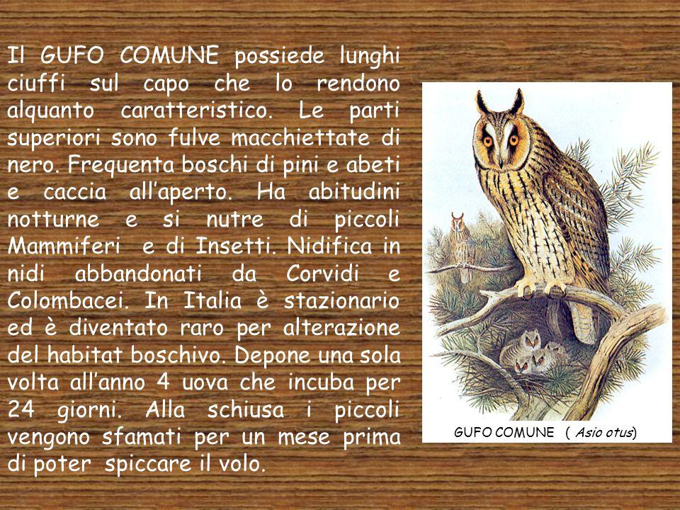 Il GUFO COMUNE possiede lunghi ciuffi sul capo che lo rendono alquanto caratteristico. Le parti superiori sono fulve macchiettate di nero. Frequenta boschi di pini e abeti e caccia all'aperto. Ha abitudini notturne e si nutre di piccoli Mammiferi e di Insetti. Nidifica in nidi abbandonati da Corvidi e Colombacei. In Italia è stazionario ed è diventato raro per alterazione del habitat boschivo. Depone una sola volta all'anno 4 uova che incuba per 24 giorni. Alla schiusa i piccoli vengono sfamati per un mese prima di poter spiccare il volo.