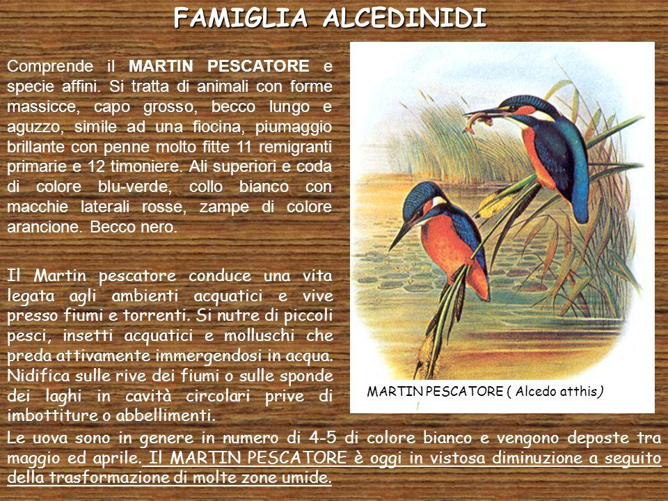 FAMIGLIA ALCEDINIDI MARTIN PESCATORE ( Alcedo atthis)