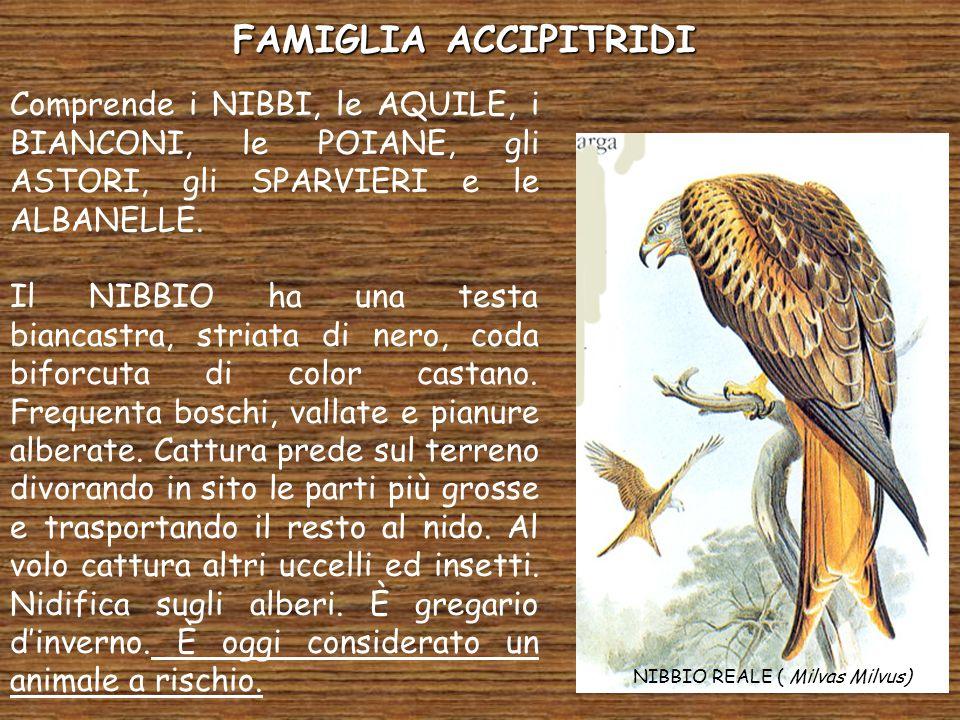 FAMIGLIA ACCIPITRIDI Comprende i NIBBI, le AQUILE, i BIANCONI, le POIANE, gli ASTORI, gli SPARVIERI e le ALBANELLE.