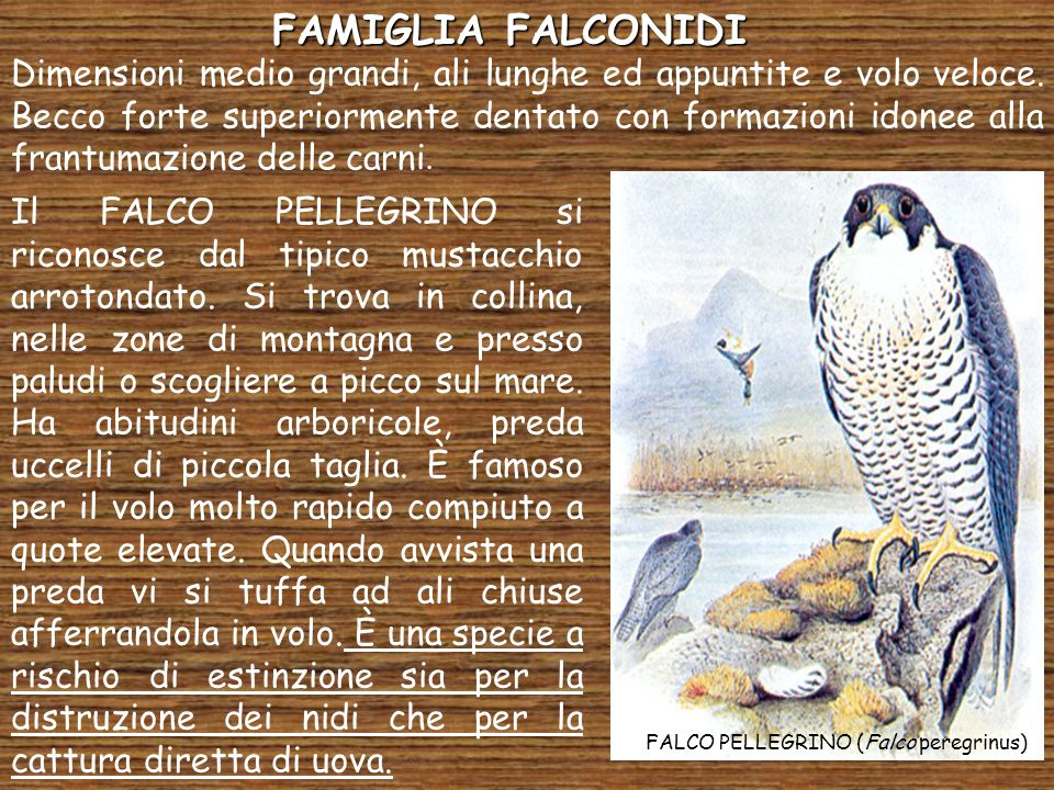 FAMIGLIA FALCONIDI