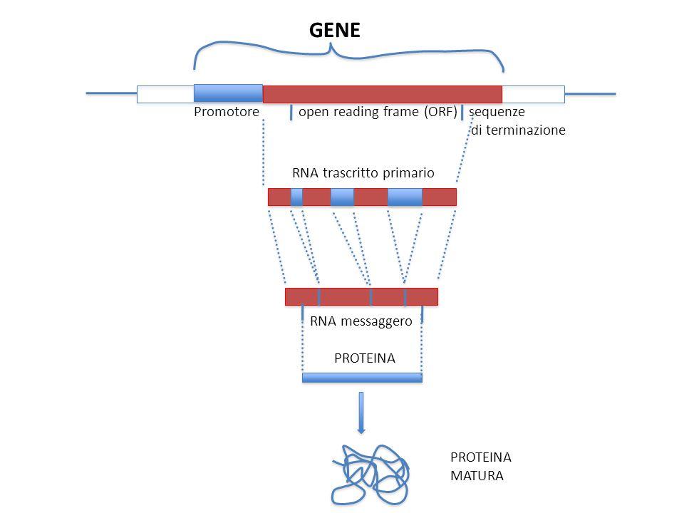 GENE Promotore open reading frame (ORF) sequenze di terminazione