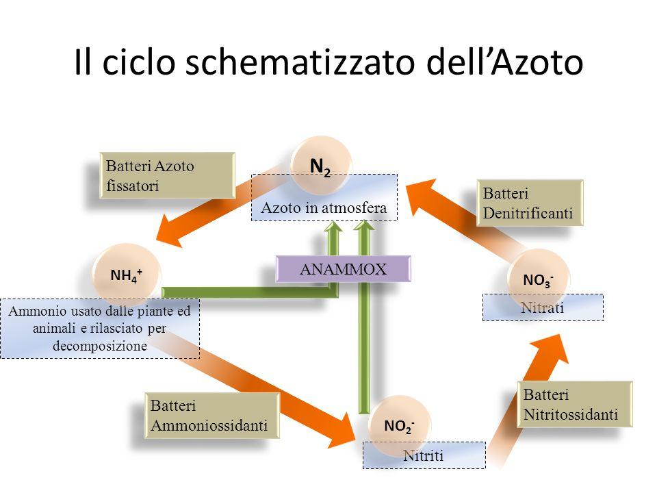 Il ciclo schematizzato dell'Azoto