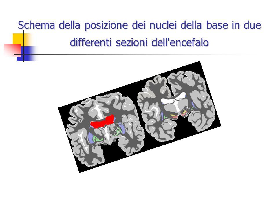 Schema della posizione dei nuclei della base in due differenti sezioni dell encefalo
