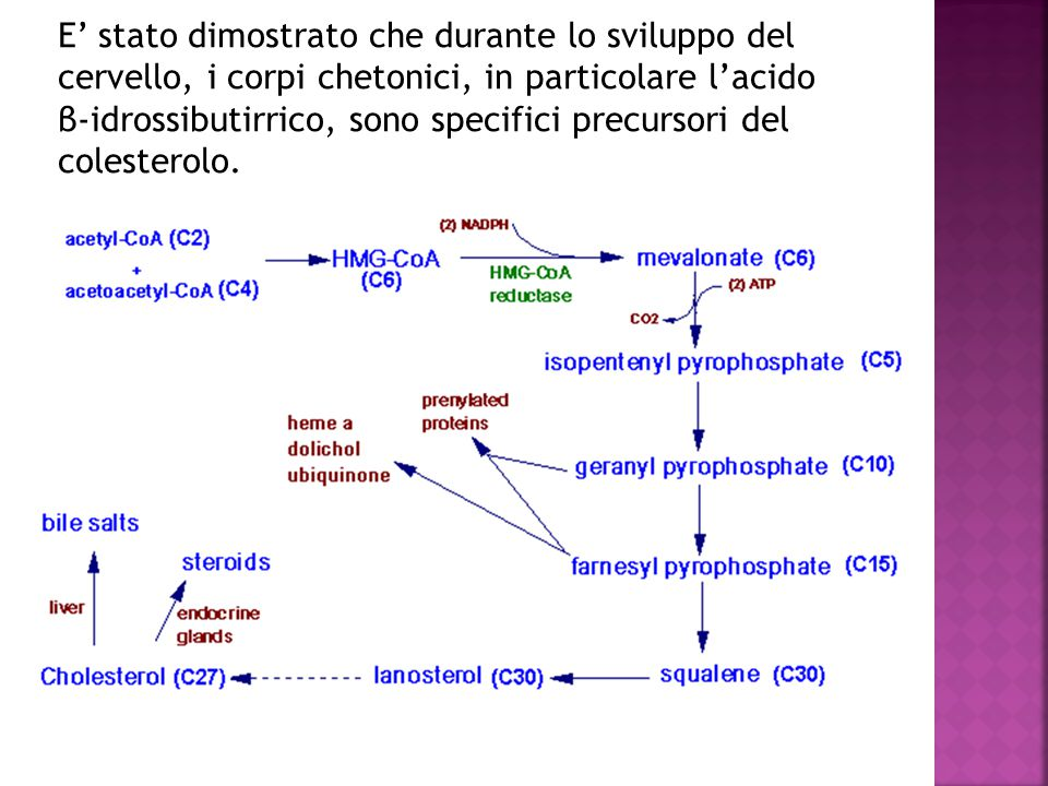 E' stato dimostrato che durante lo sviluppo del cervello, i corpi chetonici, in particolare l'acido β-idrossibutirrico, sono specifici precursori del colesterolo.
