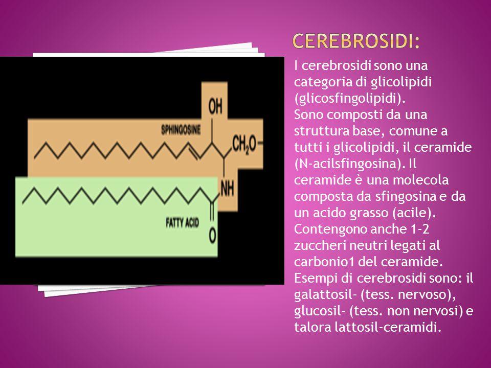 Cerebrosidi: I cerebrosidi sono una categoria di glicolipidi (glicosfingolipidi).