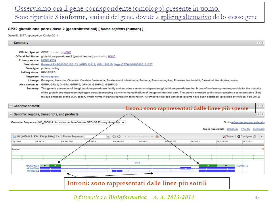 Osserviamo ora il gene corrispondente (omologo) presente in uomo