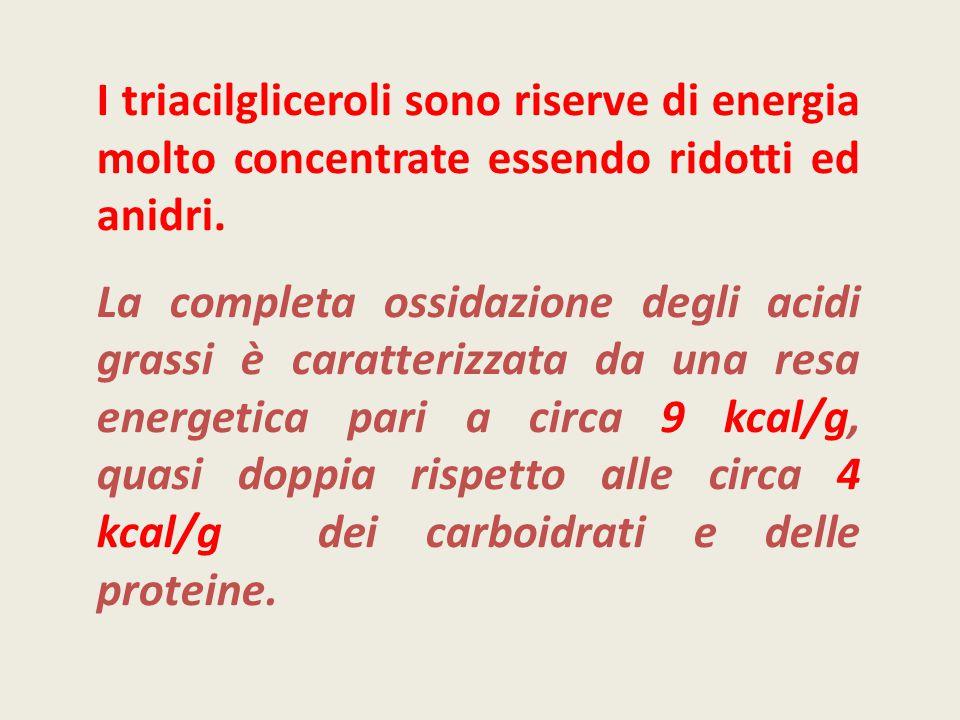 I triacilgliceroli sono riserve di energia molto concentrate essendo ridotti ed anidri.