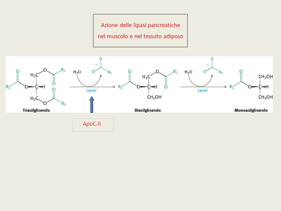 Azione delle lipasi pancreatiche nel muscolo e nel tessuto adiposo