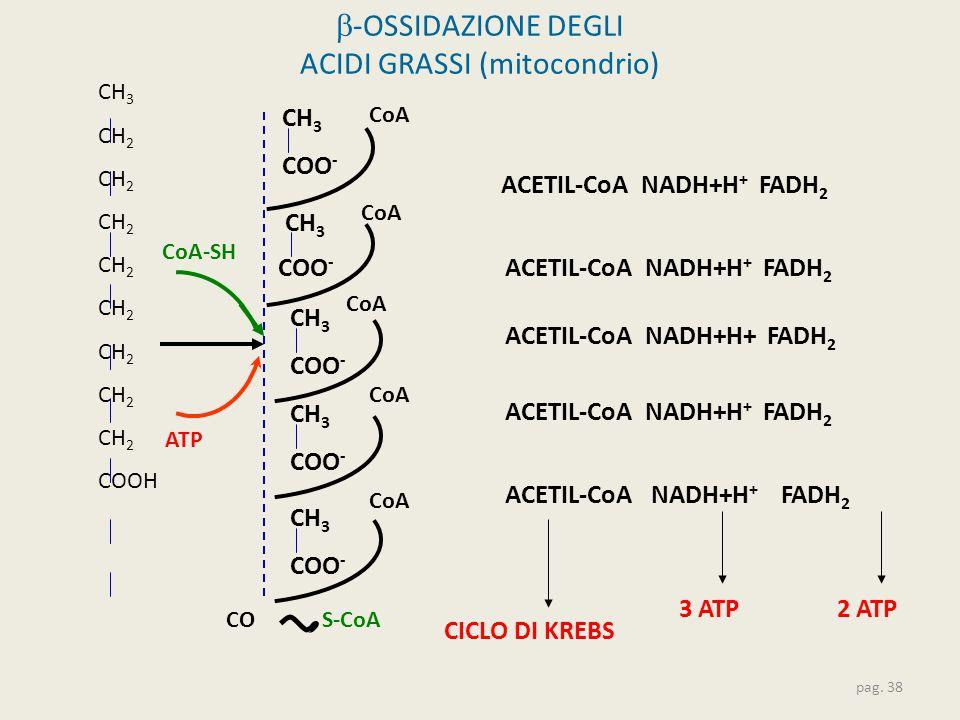 b-OSSIDAZIONE DEGLI ACIDI GRASSI (mitocondrio)