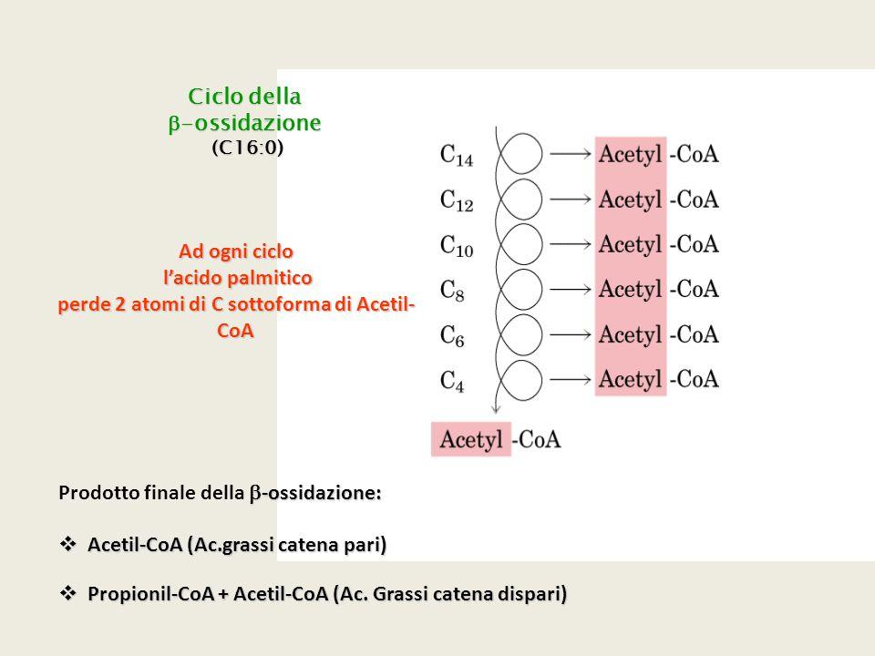 perde 2 atomi di C sottoforma di Acetil-CoA
