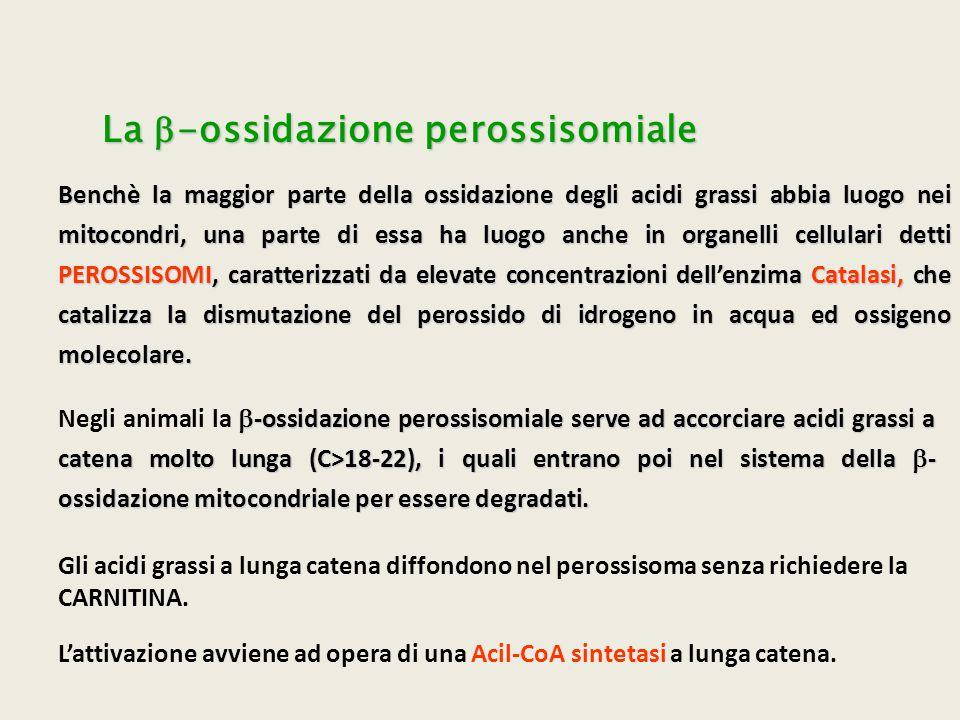La b-ossidazione perossisomiale