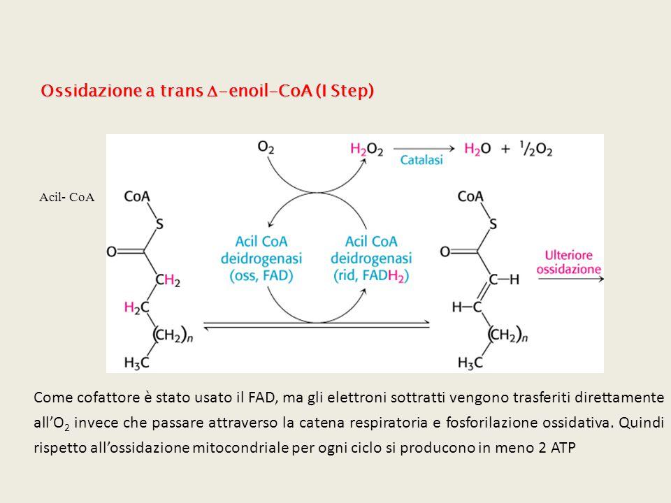 Ossidazione a trans D-enoil-CoA (I Step)