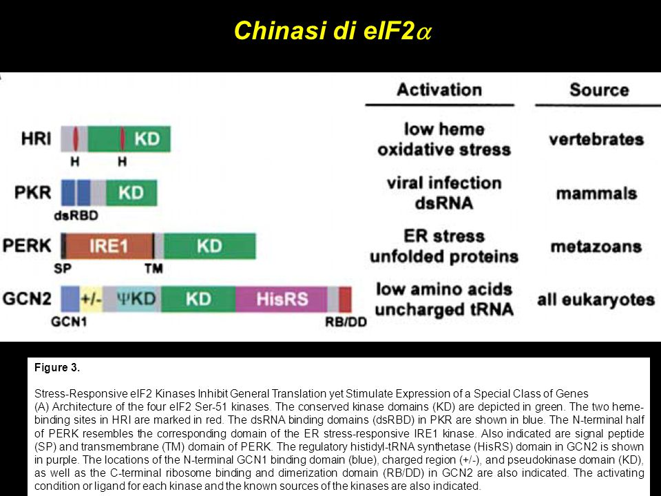 Chinasi di eIF2a Figure 3. Stress-Responsive eIF2 Kinases Inhibit General Translation yet Stimulate Expression of a Special Class of Genes.