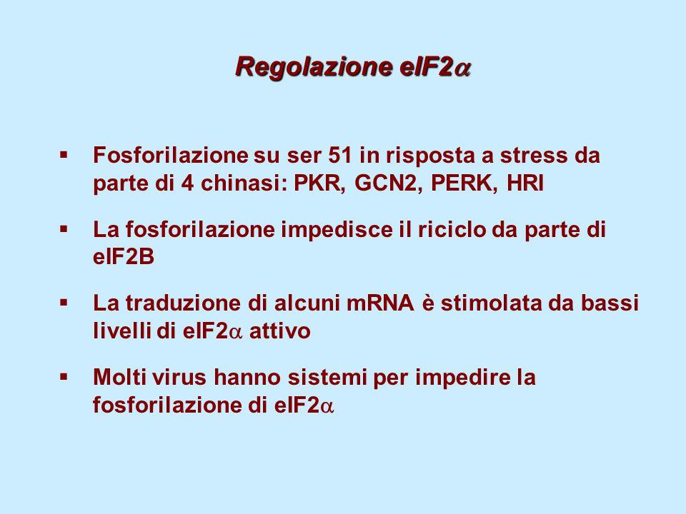 Regolazione eIF2a Fosforilazione su ser 51 in risposta a stress da parte di 4 chinasi: PKR, GCN2, PERK, HRI.