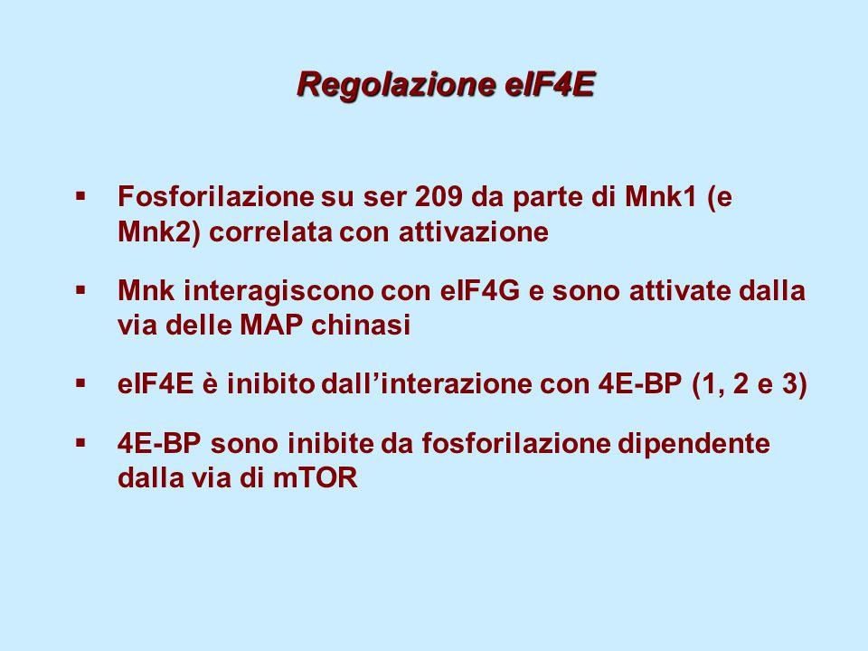 Regolazione eIF4E Fosforilazione su ser 209 da parte di Mnk1 (e Mnk2) correlata con attivazione.