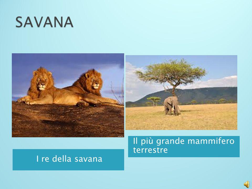 SAVANA Il più grande mammifero terrestre I re della savana