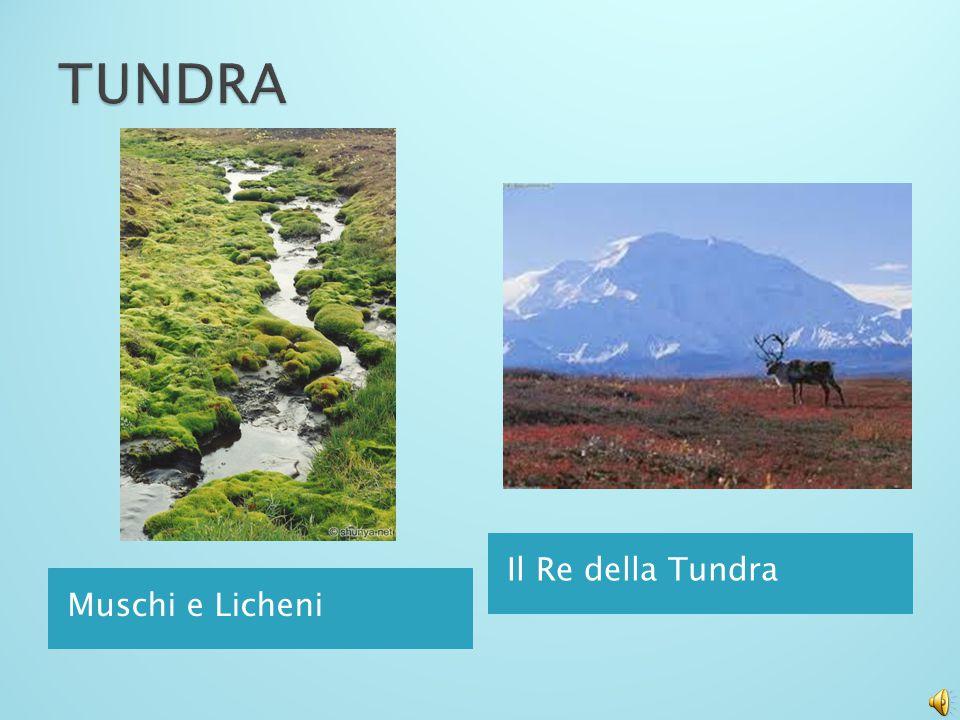 TUNDRA Il Re della Tundra Muschi e Licheni