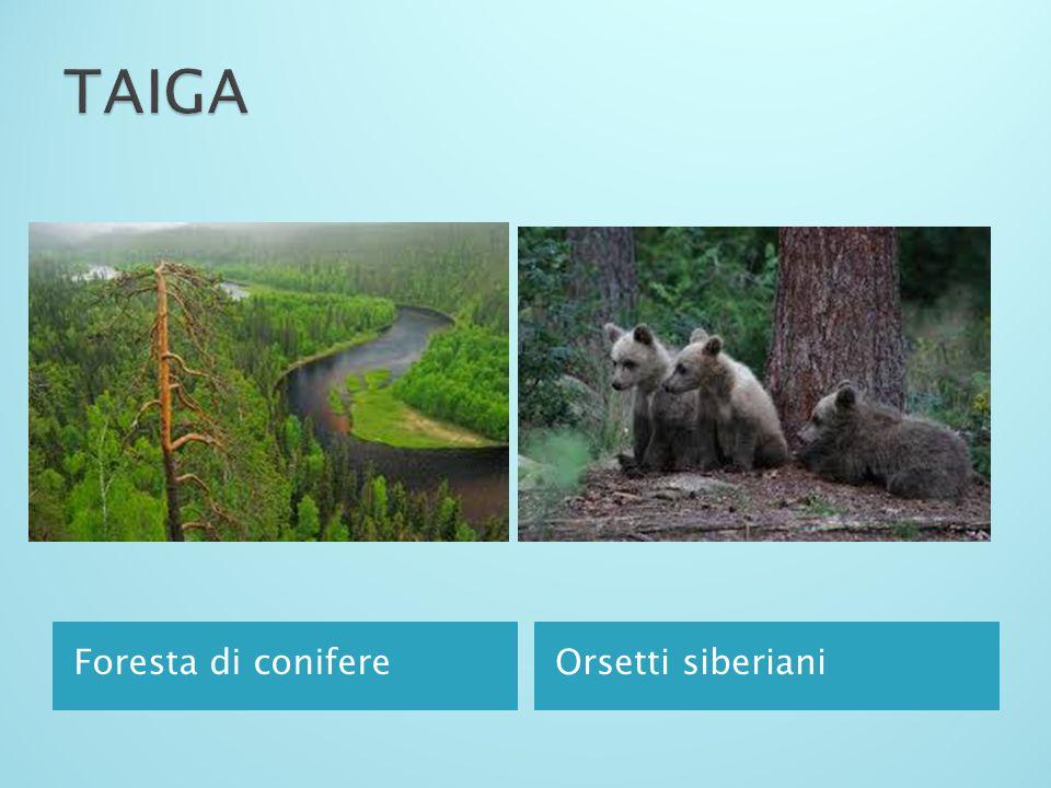 TAIGA Foresta di conifere Orsetti siberiani