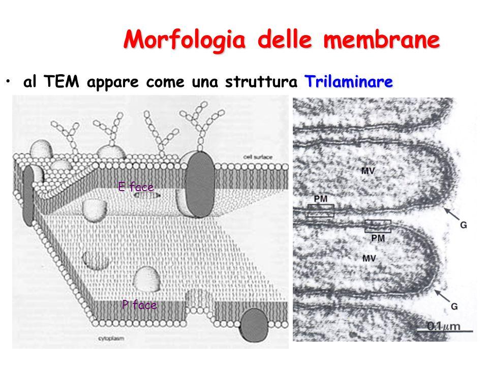 Morfologia delle membrane