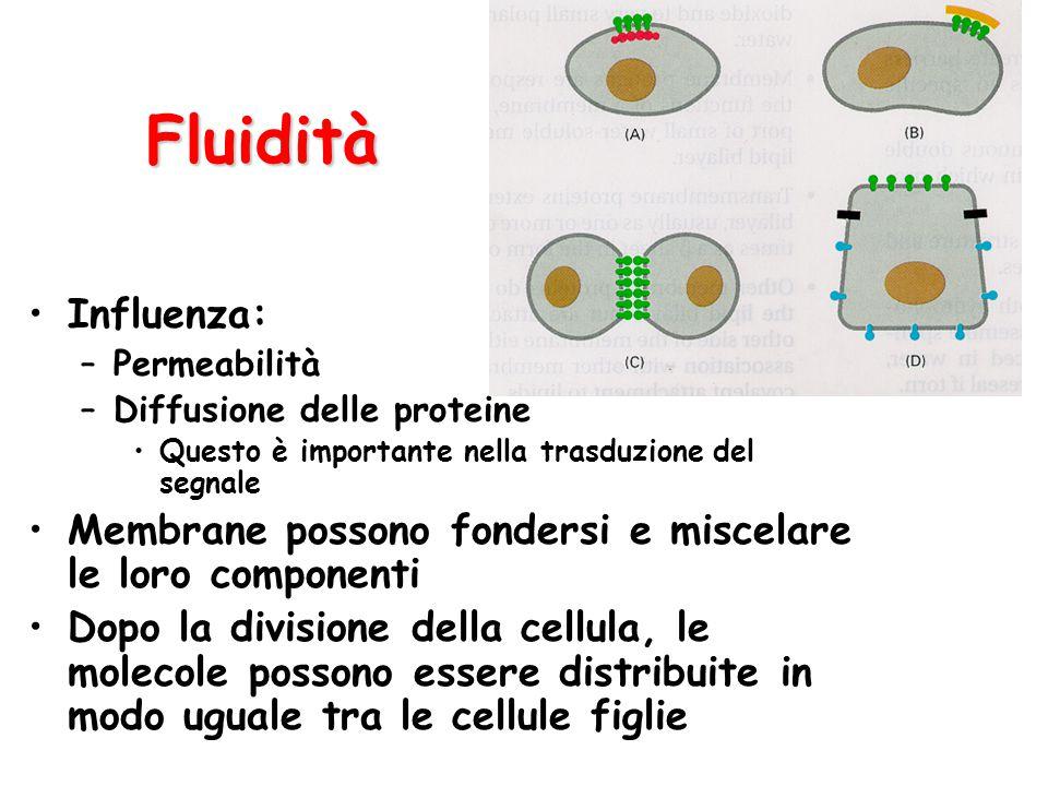 Fluidità Influenza: Permeabilità. Diffusione delle proteine. Questo è importante nella trasduzione del segnale.