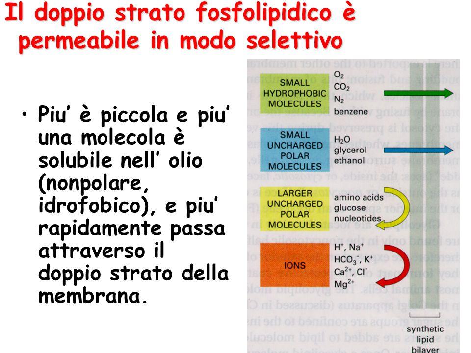 Il doppio strato fosfolipidico è permeabile in modo selettivo