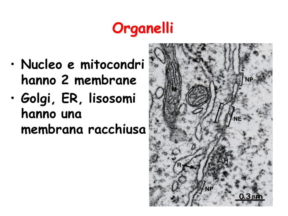 Organelli Nucleo e mitocondri hanno 2 membrane