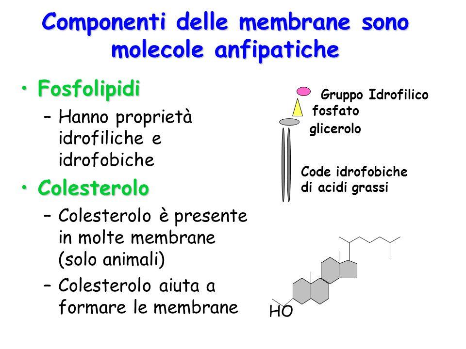 Componenti delle membrane sono molecole anfipatiche