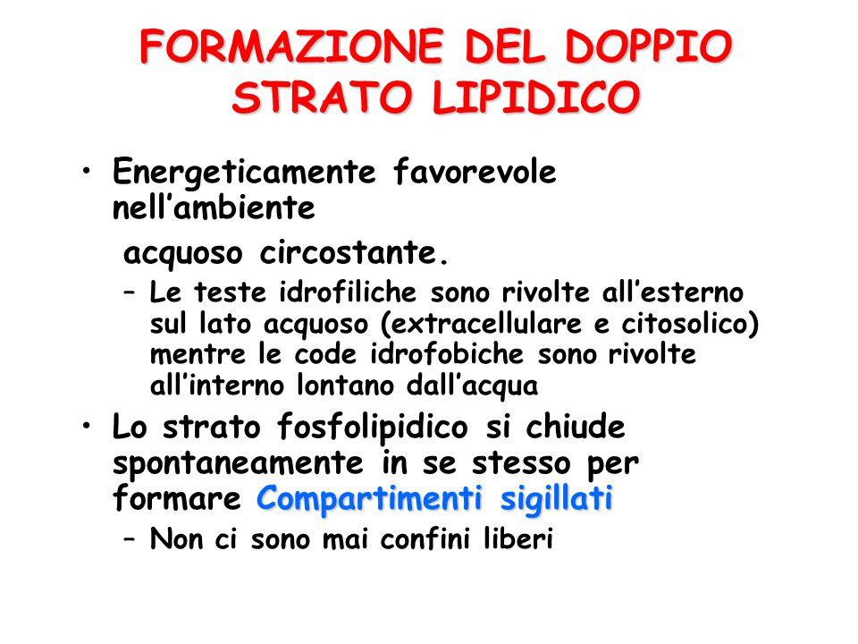 FORMAZIONE DEL DOPPIO STRATO LIPIDICO