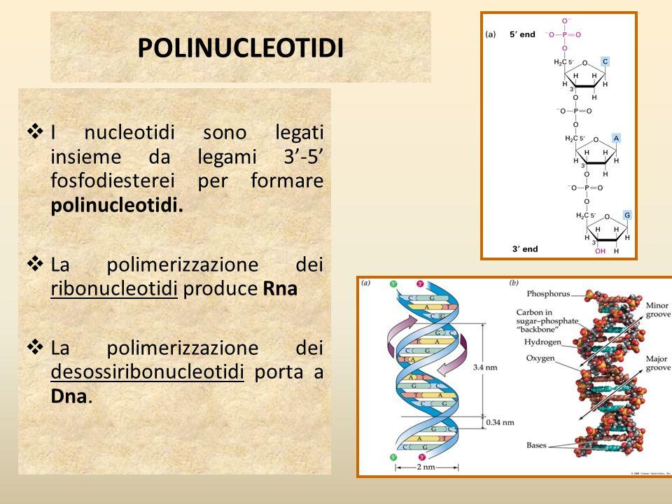POLINUCLEOTIDI I nucleotidi sono legati insieme da legami 3'-5' fosfodiesterei per formare polinucleotidi.