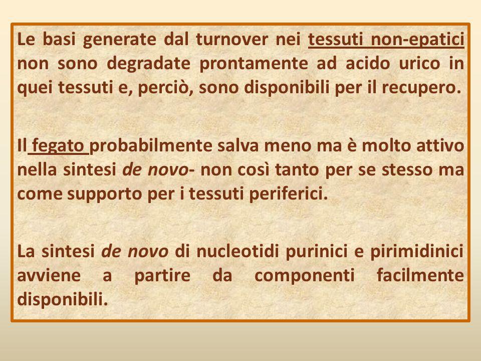 Le basi generate dal turnover nei tessuti non-epatici non sono degradate prontamente ad acido urico in quei tessuti e, perciò, sono disponibili per il recupero.
