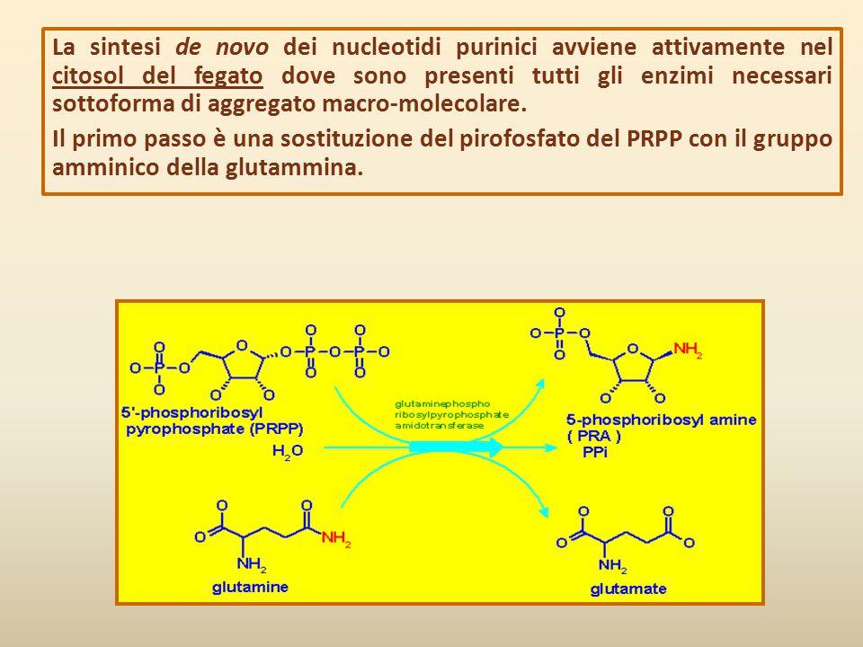 La sintesi de novo dei nucleotidi purinici avviene attivamente nel citosol del fegato dove sono presenti tutti gli enzimi necessari sottoforma di aggregato macro-molecolare.
