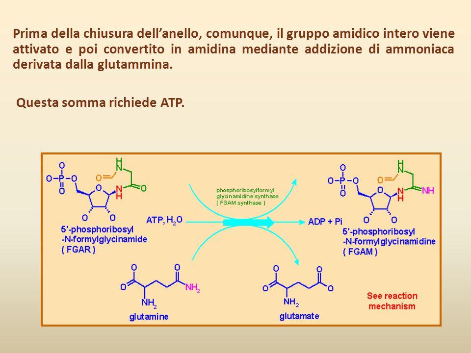 Prima della chiusura dell'anello, comunque, il gruppo amidico intero viene attivato e poi convertito in amidina mediante addizione di ammoniaca derivata dalla glutammina.