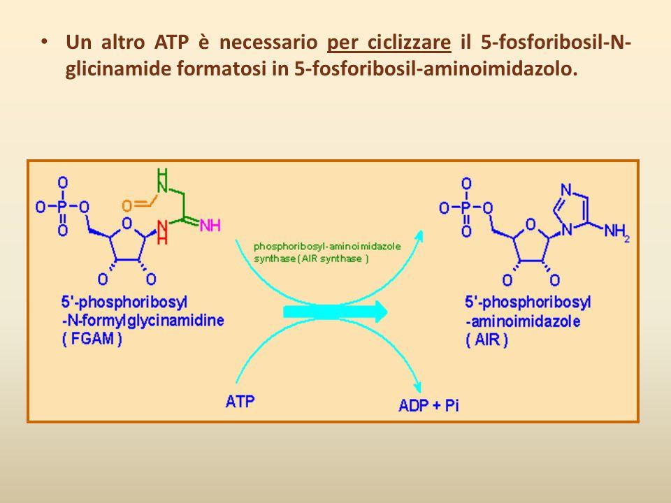 Un altro ATP è necessario per ciclizzare il 5-fosforibosil-N-glicinamide formatosi in 5-fosforibosil-aminoimidazolo.