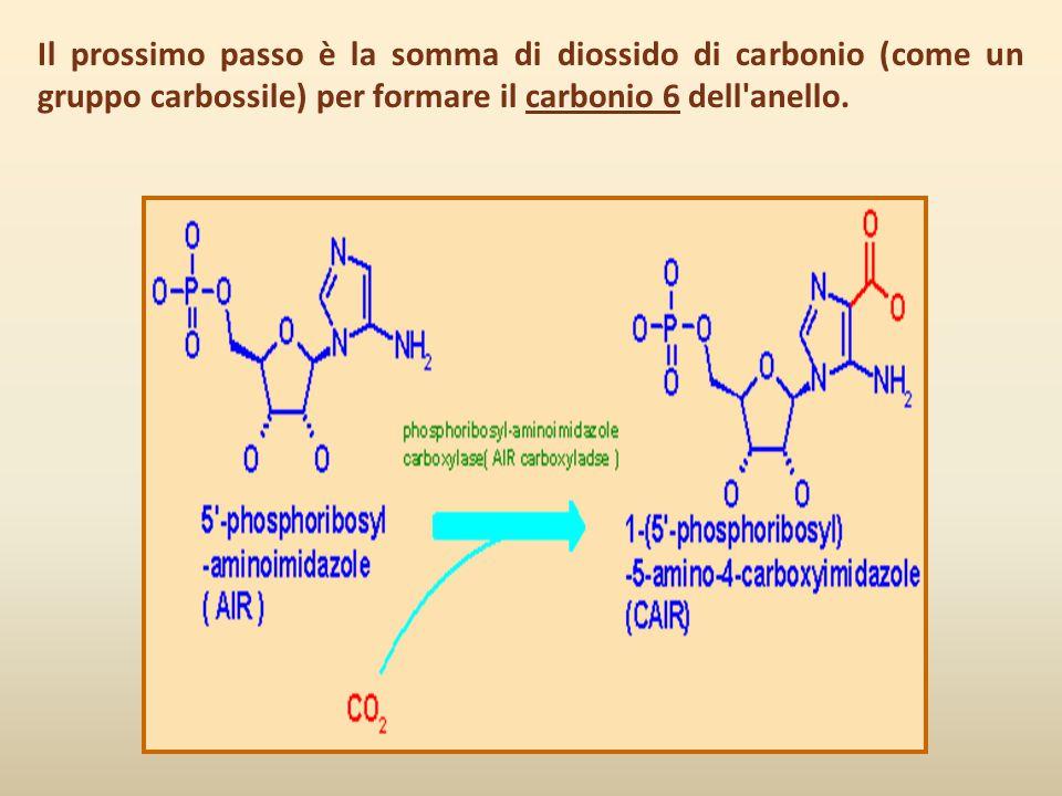 Il prossimo passo è la somma di diossido di carbonio (come un gruppo carbossile) per formare il carbonio 6 dell anello.