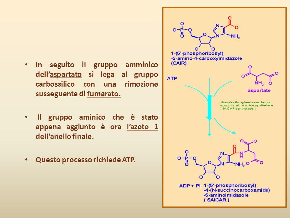 In seguito il gruppo amminico dell'aspartato si lega al gruppo carbossilico con una rimozione susseguente di fumarato.