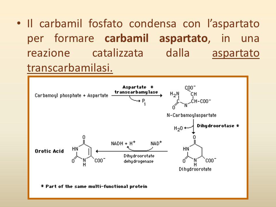 Il carbamil fosfato condensa con l'aspartato per formare carbamil aspartato, in una reazione catalizzata dalla aspartato transcarbamilasi.