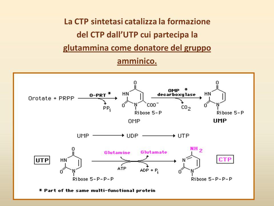 La CTP sintetasi catalizza la formazione