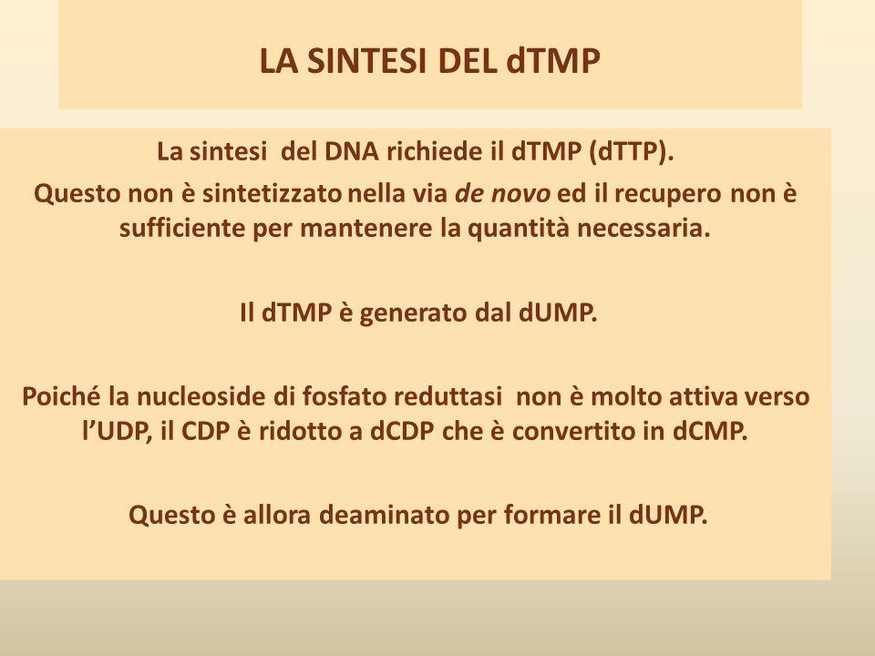 LA SINTESI DEL dTMP La sintesi del DNA richiede il dTMP (dTTP).