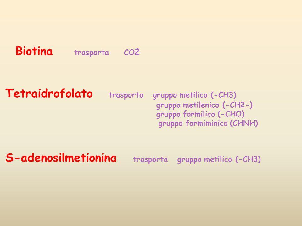 Tetraidrofolato trasporta gruppo metilico (-CH3)